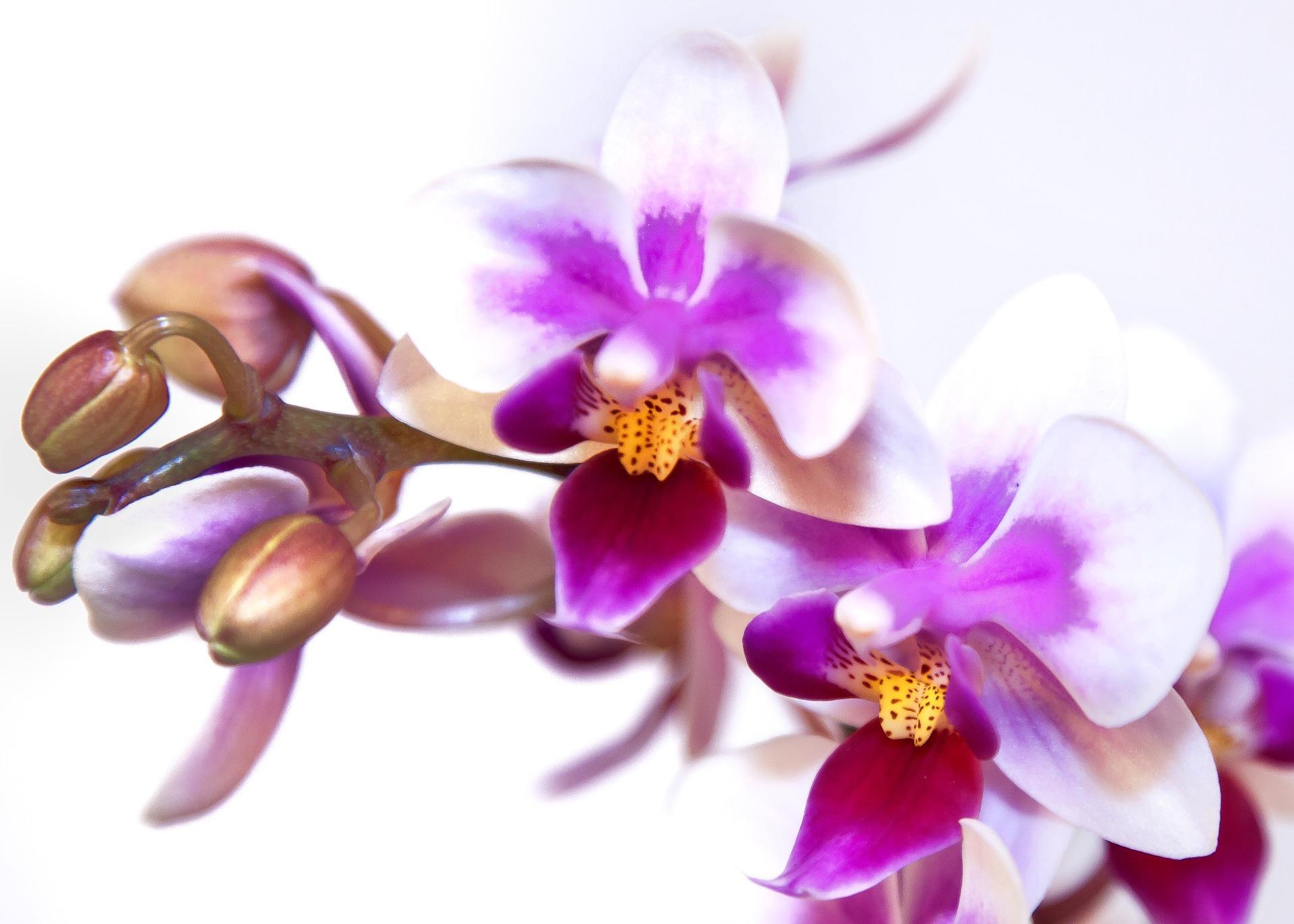 phalaenopsis-1858688_1920