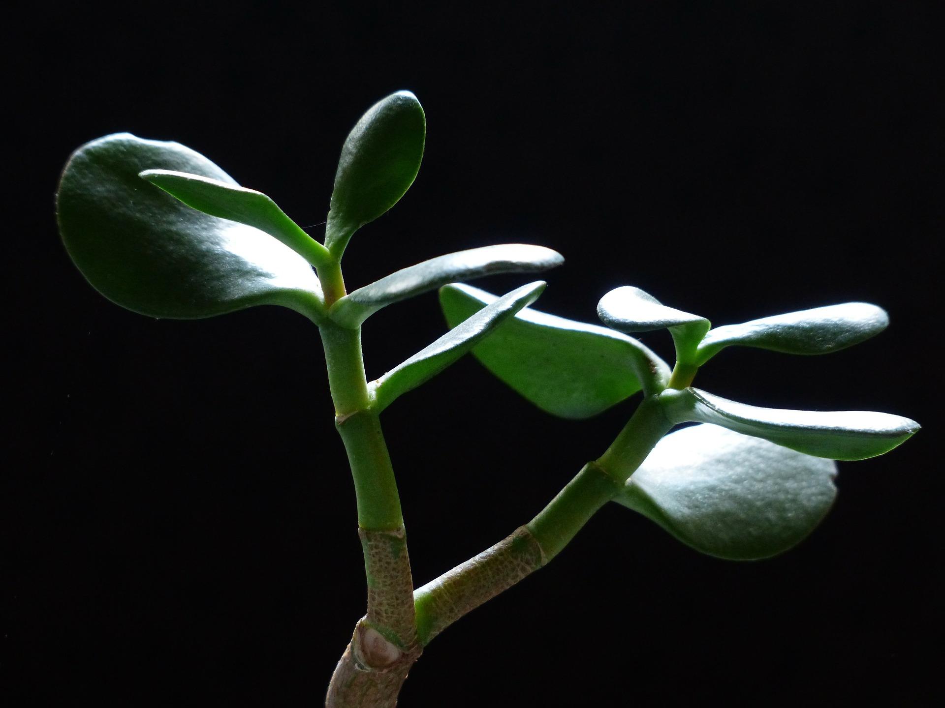 money-tree-Crassula ovata