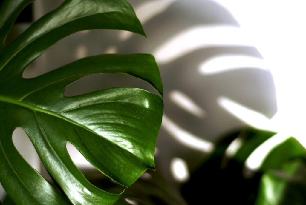 Feng shui lek i zaštita - filadendron