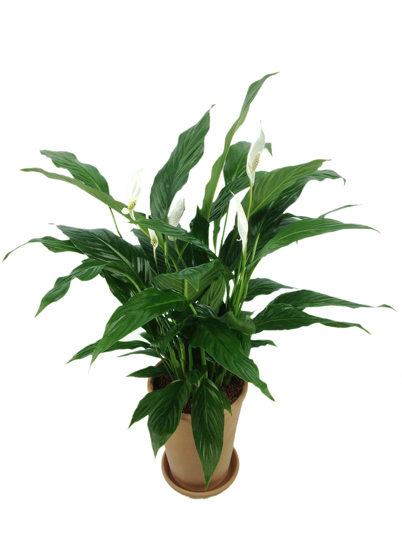 spathiphyllum-811383_1920