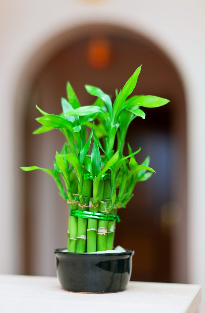 srećni bambus u vazi